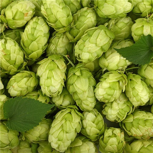 What do you know about hops, one of the ingredients of beer? And the characteristics of hops